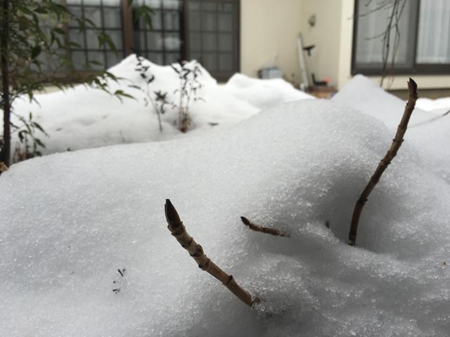 アジサイ 冬芽